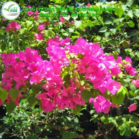 cay hoa giay 7 2