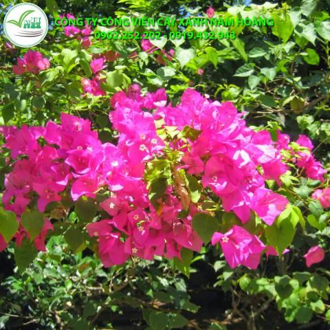 cay hoa giay 7 3
